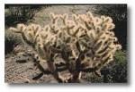 Susan cholla cactus