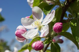 apple-blossom 2 free
