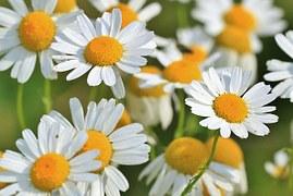 daisies-chamomile-free