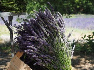 lavender2free
