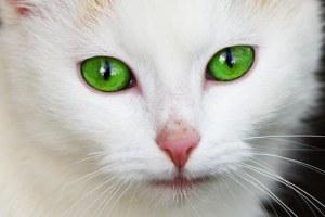 white-cat-free