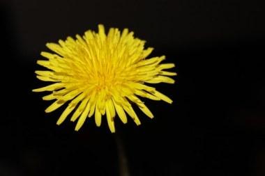 dandelion-free