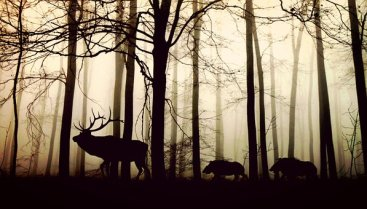 forest moose fog free
